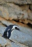 Pingouin africain de marche Demersus de Spheniscus Image stock