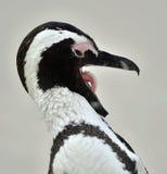 Pingouin africain (demersus de spheniscus) avec le bec ouvert Image libre de droits