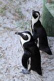 Pingouin africain (demersus de Spheniscus) jetant un coup d'oeil de dessous la promenade, le Cap-Occidental, Afrique du Sud Photo libre de droits