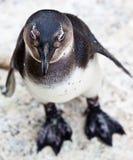 pingouin africain Noir-aux pieds dans la fin vers le haut Photographie stock libre de droits