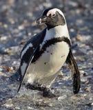 Pingouin africain Pingouin africain (demersus de Spheniscus), également connu sous le nom de pingouin d'âne et pingouin noir-aux  Photos libres de droits