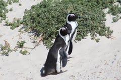 Pingouin africain sur la plage de rochers Photographie stock libre de droits