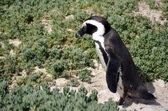 Pingouin africain sur la plage de rochers Image libre de droits