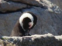 Pingouin africain sur le littoral Photographie stock libre de droits