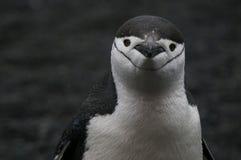 pingouin antarctique de chinstrap Photographie stock