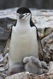 Pingouin antarctique de femelle et de deux poussins dans le nid Photographie stock libre de droits