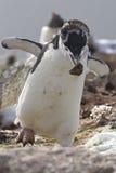 Pingouin antarctique muant qui est une pierre dans le nid pendant Photographie stock libre de droits