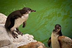 Pingouin au zoo photos libres de droits