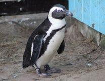 pingouin aux pieds de #2 Photo stock