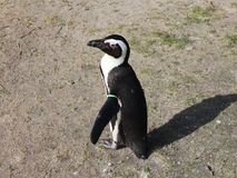 pingouin aux pieds de #2 Photos libres de droits