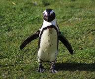 pingouin aux pieds de #2 Photographie stock
