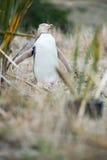pingouin aux yeux jaunes, Nouvelle-Zélande photo libre de droits