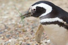 Pingouin avec l'herbe dans le bec Image stock