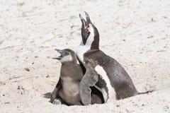 Pingouin avec le poulet, hungy Photographie stock libre de droits