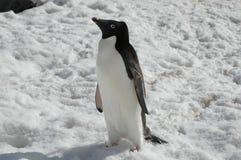 Pingouin d'Adelie Images libres de droits