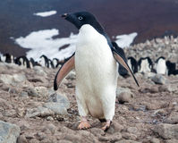 Pingouin d'Adelie, Antarctique Images stock