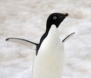 Pingouin d'Adelie - Antarctique Photos stock