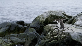 Pingouin d'Adelie en Antarctique Photos stock