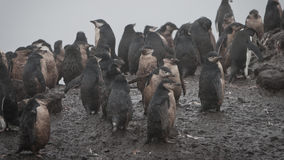 Pingouin d'Adelie en Antarctique Photographie stock libre de droits