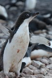 Pingouin d'Adelie en Antarctique Photos libres de droits