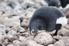 Pingouin d'Adelie en Antarctique Photographie stock