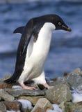 Pingouin d'Adelie marchant sur les roches Images stock