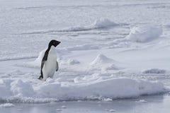 Pingouin d'Adelie qui se tient sur le congelé Photo libre de droits