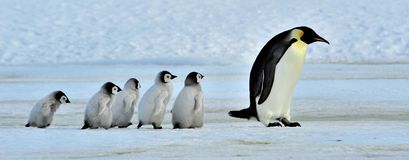 Pingouin d'empereur Image stock