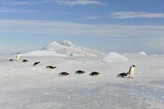 Pingouin d'empereur Images stock