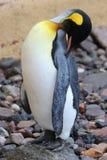 Pingouin d'empereur Photos libres de droits