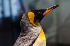 Pingouin d'empereur Photo stock
