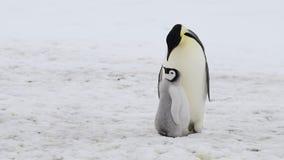 Pingouin d'empereur avec le poussin en Antarctique banque de vidéos
