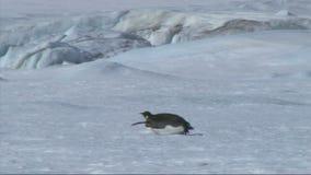 Pingouin d'empereur sur l'Antarctique clips vidéos