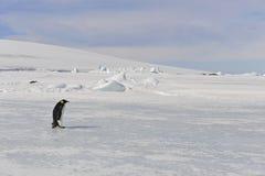 Pingouin d'empereur sur la neige Photographie stock