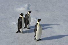 Pingouin d'empereur sur la neige Photo libre de droits
