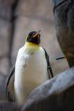 Pingouin d'empereur sur la pierre grise Photos libres de droits