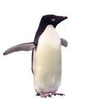 Pingouin d'isolement Adelie avec le chemin de découpage Image libre de droits