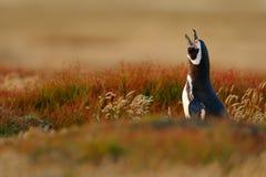 Pingouin dans l'herbe rouge avec la facture ouverte Scène de faune de nature Oiseau de Falkland Island Photographie stock