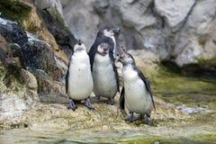 Pingouin dans le zoo image stock