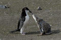 Pingouin de Chinstrap Photo libre de droits