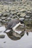 Pingouin de Chinstrap Photographie stock