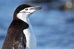 Pingouin de Chinstrap, Antarctique Photographie stock