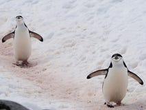 Pingouin de Chinstrap en Antarctique Image libre de droits