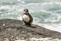 Pingouin de Galapagos, îles de Galapagos, Equateur Photo libre de droits