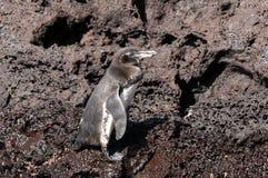 Pingouin de Galapagos Photographie stock libre de droits