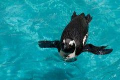 Pingouin de Galapagos Images libres de droits