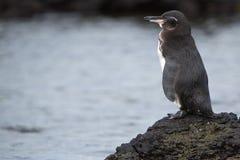 Pingouin de Galapagos regardant l'océan - Galapagos Photographie stock libre de droits