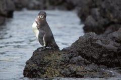Pingouin de Galapagos regardant l'océan - Galapagos Photos stock