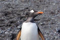 Pingouin de Gentoo Images stock