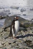 Pingouin de Gentoo Photos libres de droits